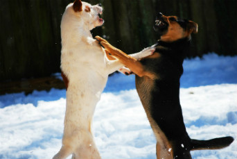 breaking up a dog fight