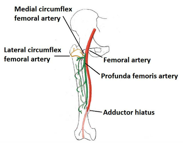 A diagram of the leg arteries